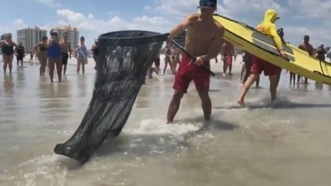 Gator Pulled From Florida Beach!