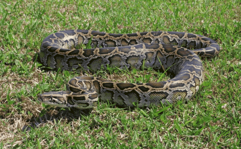 Hunters With Shotguns Can Go After Pythons In The Everglades
