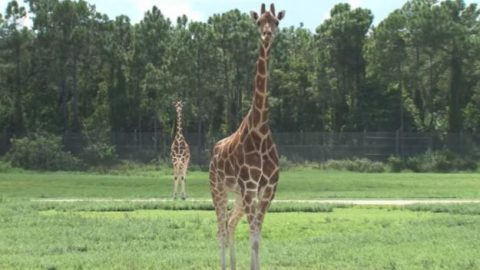 "Two Giraffes Killed In ""Billion-To-One"" Lightning Strike At Florida Wildlife Park"