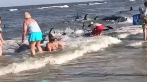 Beachgoers Rescue Pod Of Beached Whales