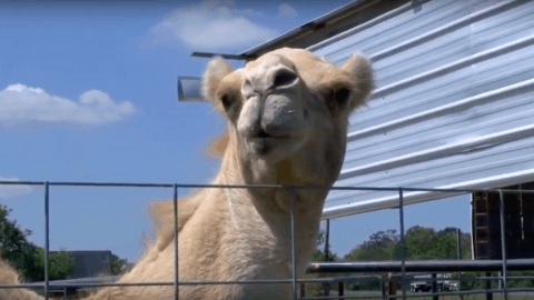 Camel Sits On Woman At Truck Stop Who Bites Its Testicles To Escape